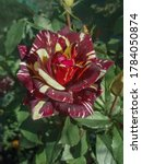Small photo of Colorful bush of striped roses in the garden. Beautiful red and white striped rose Hocus Pocus