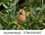 Female Northern Cardinal Sits...