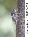 Cicadidae on the tree trunk....