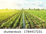Plantation of young eggplant seedlings is watered through irrigation canals. European farm, farming. Caring for plants, growing food. Agronomy. Agriculture and agribusiness. Rural countryside