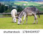 White And A Grey Donkey Grazing ...