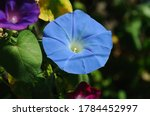 Blue Morning Glory In The...