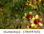 Bee On Yellow And Red Daisies