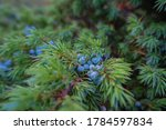 A Closeup Of Juniper Plant