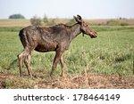 Small photo of Moose (Alces alces americanus)