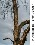 An Old  Large  Dead Elm Tree...