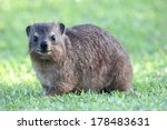 Cute Hyrax Or Rock Rabbit From...