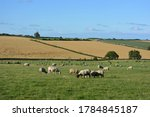Sheep Grazing In A Pasture...