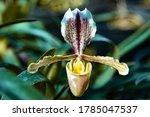 Paphiopedilum Villosum  Is A...