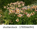 Summer Flowering  Lily Of The...