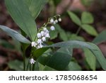 White Lily Of The Valley  May...