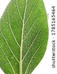 macro green benghal nsis ficus... | Shutterstock . vector #1785165464