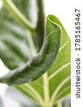 macro green benghal nsis ficus... | Shutterstock . vector #1785165467