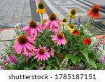 The Echinacea Flower Is A Typ...