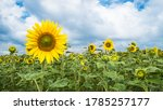 Common Sunflower Field With...