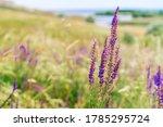 Purple Wildflowers In The Field