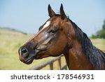 American Quarter Horse Head