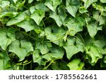 Chayote Plant In The Vegetable...