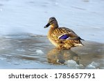A Duck Stands In A Puddle In A...