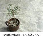 Bonsai Pinus Parviflora ...