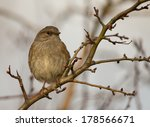 Small photo of Dunnock (Prunella modularis) known as Hedge Accentor, Hedge Sparrow, or Hedge Warbler perching in the tree, England