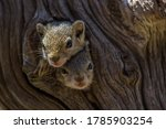 Two Baby Tree Squirrels Looking ...