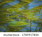 Group Of Marsh Frogs In The...