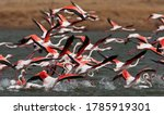 Greater Flamingo In The Water
