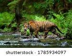 Wildlife Russia. Tiger Running...