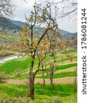 Beautiful View Of A Pear Tree...