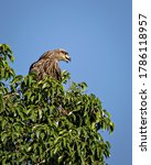 Black Kite Bird Sitting On Top...