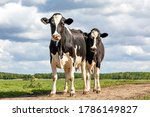 Two Black And White Cows ...