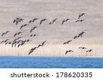 red breasted geese flock in... | Shutterstock . vector #178620335