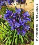 Multiple Agapanthus Flowers...