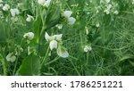 Peas Detail Blossom Flower...