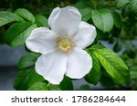 A Large White Wild Rose Flower...