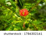 Red Hibiscus Flower With...