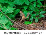 Chipmunk In The Park  Looking...