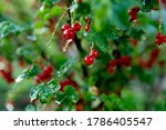 Ripe Red Currants Growing On...