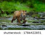 Forest Wildlifein Russia. Tige...