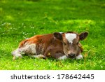 Newborn Calf On Foliage