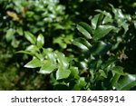 Green And Pink Glossy Leaves O...