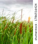 Brown Grass Flower With Green...