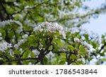 Flowering Branch Of Pear Tree...