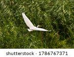 Great Egret  Ardea Alba  Common ...