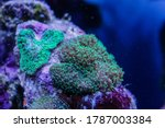 Small Polyp Stony Coral  Sps
