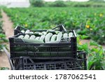 Crop Of Ripe Green Courgettes...