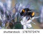 Bublebee Gathering Nectar....