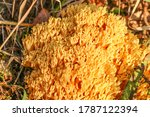 Coral Mushroom In The Forest
