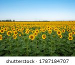 Sunflowers Are Growing On The...
